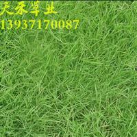 批发供应早熟禾 高羊茅 三叶草等草种
