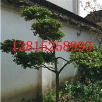 造型大叶黄杨瓜子黄杨树、苏州别墅绿化工程