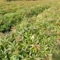 供应木荷小苗~木荷造林苗~江西2-4公分木荷
