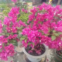 供应中国福建三角梅销售  高规格三角梅盆苗