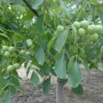 1公分以上枣树苗 山楂树 苹果树 核桃树