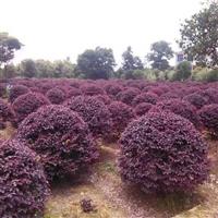 安徽肥西红花继木,规格齐全,精品销售