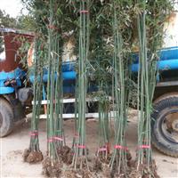 江西省南昌市哪里有绿篱围墙刚竹、紫竹卖
