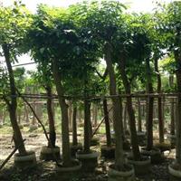 贵州桃花心木供应,买桃花心木找裕景园艺场