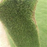 供应优质混播草坪