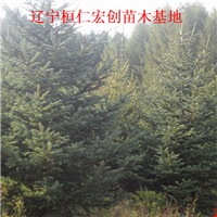 【云杉树|云杉基地|辽宁云杉】