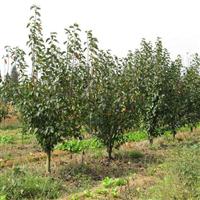 梨树价格,梨树种植与批发,