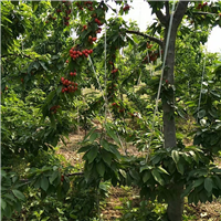 樱桃苗供应品种樱桃苗出售占地樱桃树