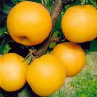 临沂兴旺苗木繁育合作社供应优质圆黄梨苗