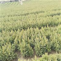 出售大量青海云杉,10公分到2米之类