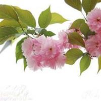 供应销售3公分樱花树园林绿化苗木
