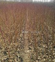 山东泰安桃树原生苗 嫁接苗种植基地