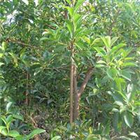 福建农户直销红皮榕,树形优美,易成活品质高