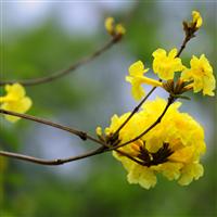 漳州黄花风铃木大量批发,给您较优的价格