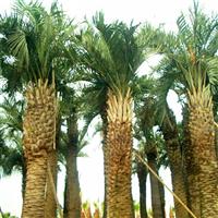 布迪椰子5-6米价格出售什么价格