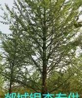 20公分银杏树价格