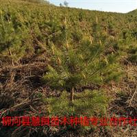 大量供应樟子松树苗,二年营养杯樟子松