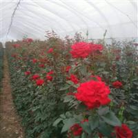 江西省南昌市哪里有月季花、树桩月季盆景卖