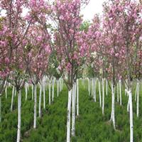 绿化树苗樱花树苗庭院美化树苗