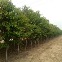 800多颗樱花树,直径8公分以上,长势茂盛