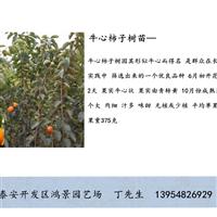 柿子苗供应基地 柿子树苗批发