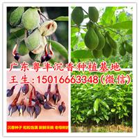 沉香种子价格10元一斤批发
