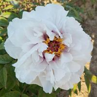 国花牡丹-观赏牡丹花苗