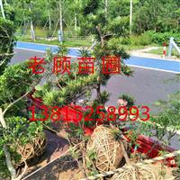 苏州别墅绿化工程梅花树梅桩景观绿化工程