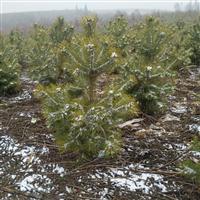 大量出售各种规格云杉油松樟子松美国蓝杉