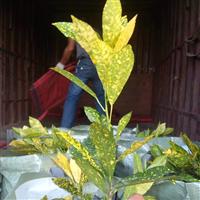 海南洒金认准东泗花木场,供应各类绿化苗木