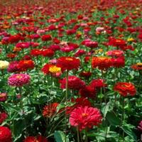 百日草种子现在批发价格