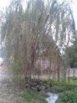 供应垂柳,榉树,香樟,大叶女贞等