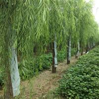 凯达苗木绿化基地常年供应速生柳垂柳
