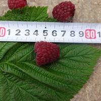 双季红树莓苗/高30公分/1.5元/株