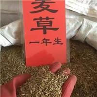 黑麦草种子价格一览表