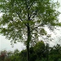 供应湖北朴树