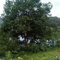 湖北柚子树