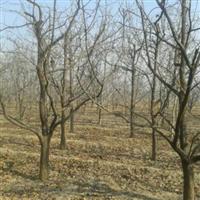哪里有3公分柿子树品种是阳丰?