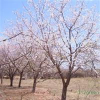 3公分杏树哪里有,5公分杏树哪里有?