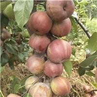 供应精品早酥红梨苗