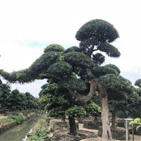 精品苗木-日本罗汉松