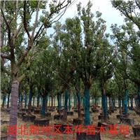 湖北荆州大量供应香樟容器苗15-30公分