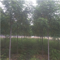 香花槐4-18cm