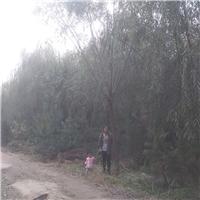 供应垂柳4-50cm