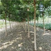 专业供应15-30公分速生法桐树