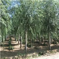 8公分柳树价格,柳树基地,柳树树苗