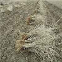 出售枸杞苗 优质枸杞苗木 批发枸杞树苗
