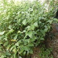 供香叶苗、香叶树苗、香叶小苗、香叶树