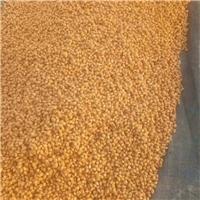 供应枸桔种子枸橘苗价格种植枸橘种