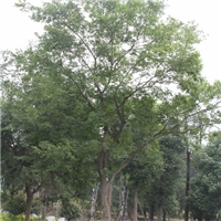 成都朴树基地供应 质量优好 12-50公分
